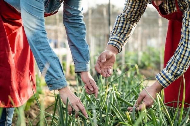 有機畑でタマネギのプランテーションを観察し、調べる農民の手