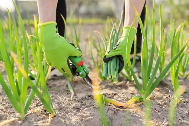 야채 정원 근접 촬영에 녹색 양파를 절단 가위 가위와 장갑에 정원사의 손. 자연, 유기농, 자가 재배 건강식품, 취미