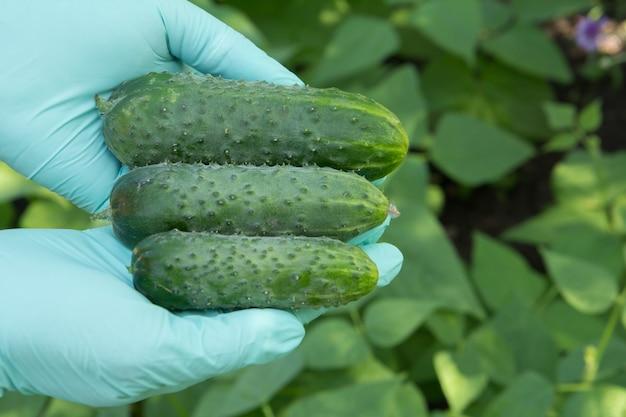 녹색 라텍스 장갑을 낀 정원사의 손이 잘 익은 신선한 오이를 들고 있습니다. 정원에서 야채를 수확하는 여름.