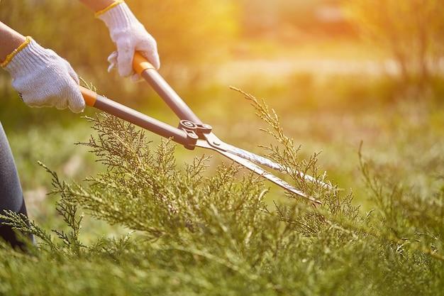 白い手袋をはめた庭師の手が、日当たりの良い場所で生け垣のはさみを使用して、生い茂った緑の低木をトリミングしています...