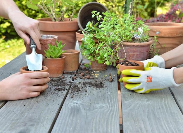 庭師の手が庭のテーブルに緑の植物を一緒にポッティング