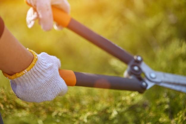 白い手袋をはめた栽培者の手が、日焼けした大きな生け垣のはさみを使用して、生い茂った緑の低木を剪定しています...