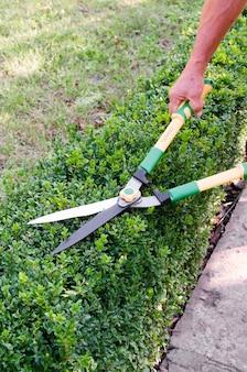 男の手は、庭の剪定はさみでツゲの木のブッシュから枝をカットします。 buxus sempervirens。