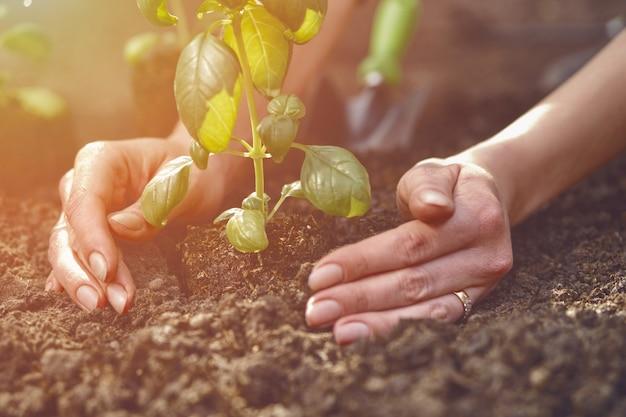 알 수 없는 여성의 손이 어린 녹색 바질 새싹이나 비료가 된 땅 햇빛에 식물을 심고 있습니다...