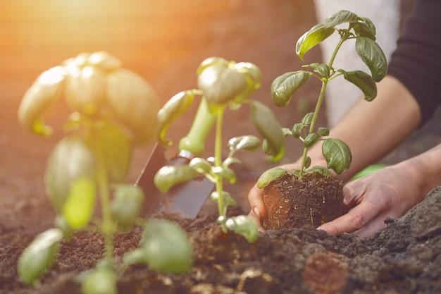 알아볼 수 없는 소녀의 손이 비옥한 땅에 어린 녹색 바질 묘목이나 식물을 심고 있습니다...