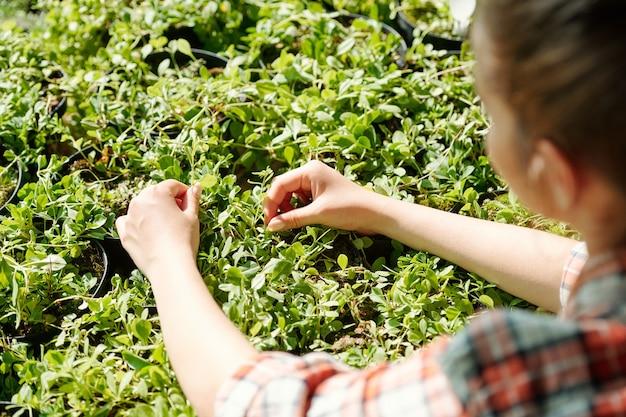 화분에서 자라는 식물을 돌보는 동안 녹색 묘목을 만지는 체크 무늬 셔츠를 입은 젊은 여성 농부 또는 온실 노동자의 손
