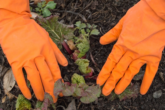 Hands in orange gloves caring for young rhubarb in the garden