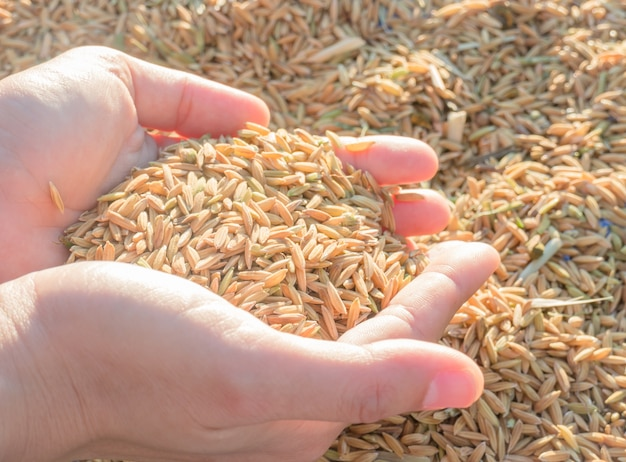 Hands on paddy rice in sunset