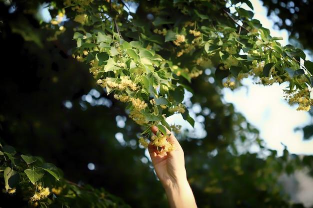 手は木からリンデンを選びます