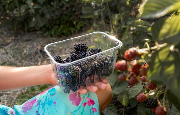 メインの収穫期にブラックベリーを収穫する手。熟した、熟していないブラックベリーが茂みに生えています。
