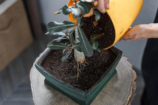 Hands potting plant in green flower pot