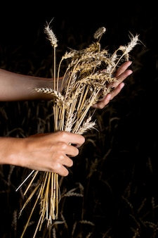 Hands and ripe wheat ears