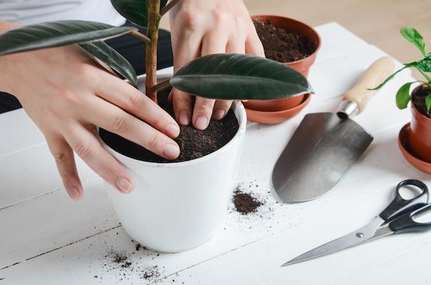관엽 식물 a를 새 냄비에 이식하는 손. 가정 원예 개념