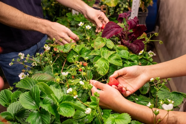 Hands of two contemporary farmers picking red ripe strawberries growing on green blooming bushes in the greenhouse