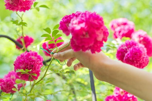 フェンスのサポートにバラの花を織りながら枝を結ぶ手