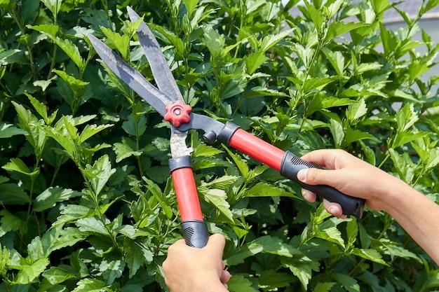 庭の生け垣を切る庭ばさみを持つ手。緑の葉の茂み。