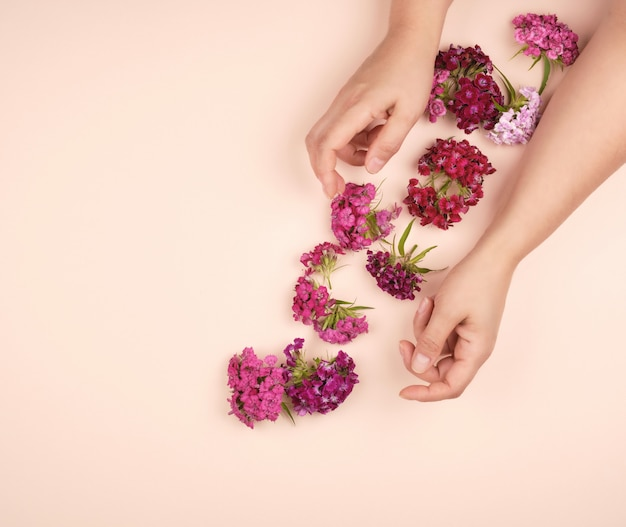 Hands with light smooth skin and buds of a blossoming turkish carnation