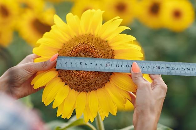 ひまわり畑の収穫と農作業で、花の大きさを確認する定規を持つ手