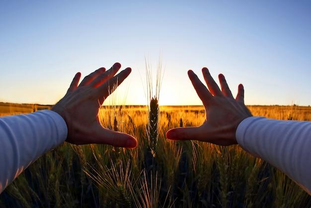Руки с колосками пшеницы на фоне заходящего солнца