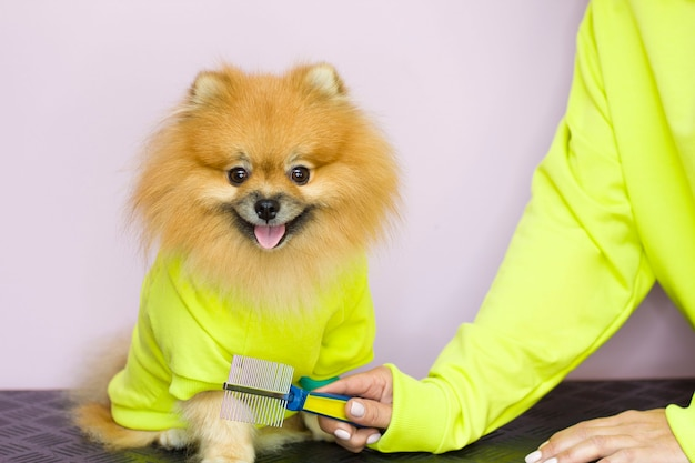 In the hands of a woman, a brush for combing dogs on a pink background. the dog and the owner have the same yellow clothes. family look. the courtship. pomeranian