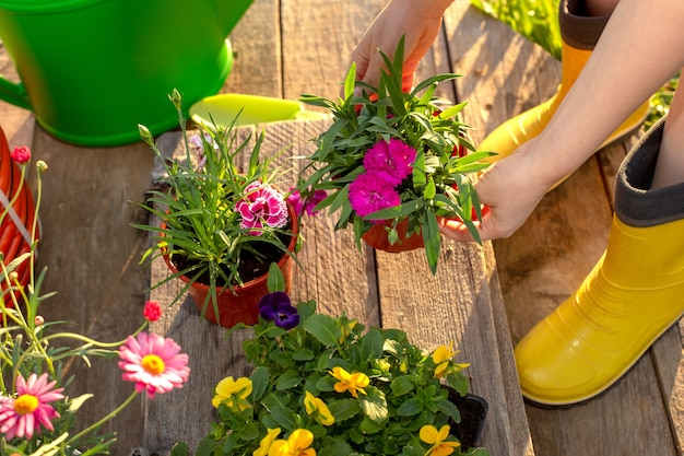 The hands of a woman in yellow boots hold a pot with a carnation flower, next to there are pots of flowers for seedlings in the garden. close up