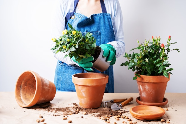 Hands of a young woman planting roses in the flower pot. planting home plants. gardening at home.