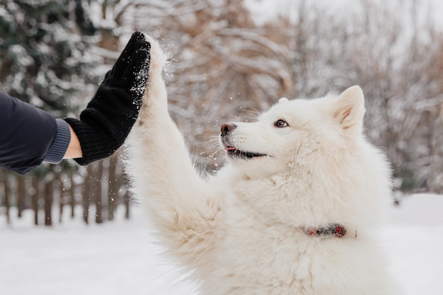 Handshake with white dog. owner with pedigree dog in the forest