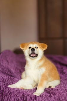 Handsome akita inu puppy. little fluffy gingerbread.