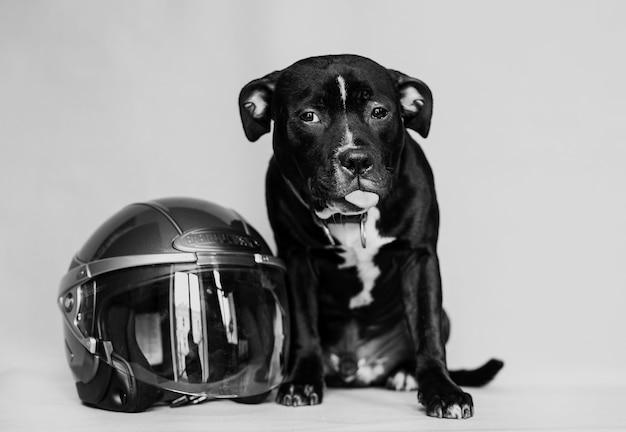オートバイのヘルメットのハンサムな黒犬
