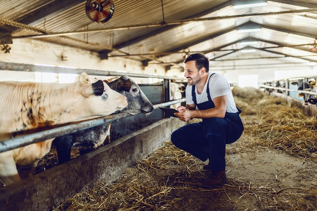Handsome caucasian farmer in overall crouching next to calf, using tablet and smiling. stable interior.