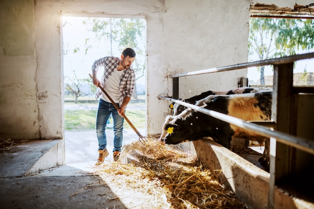 Handsome caucasian farmer in plaid shirt and jeans standing in stable and feeding calves.