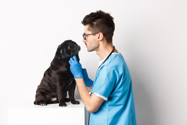Handsome doctor veterinarian examining cute black pug dog at vet clinic, standing over white.