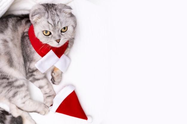 赤いクリスマスのスカーフとサンタの帽子でハンサムな純血種のサラブレッドスコティッシュフォールド