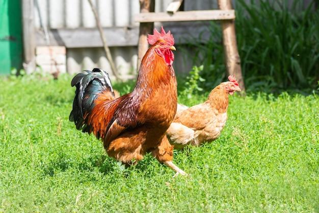 ハンサムなオンドリと鶏が裏庭の緑の芝生の上を歩いています