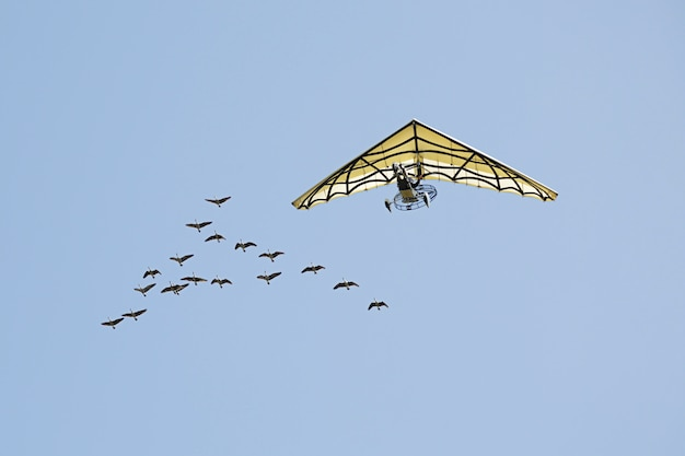 ハイイロガンの横を飛んでいるハンググライダー