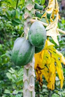정원에 있는 나무에 매달린 유기농 녹색 파파야 과일을 닫습니다.