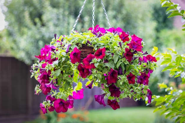 Hanging basket of colourful petunias in a garden in east grinstead