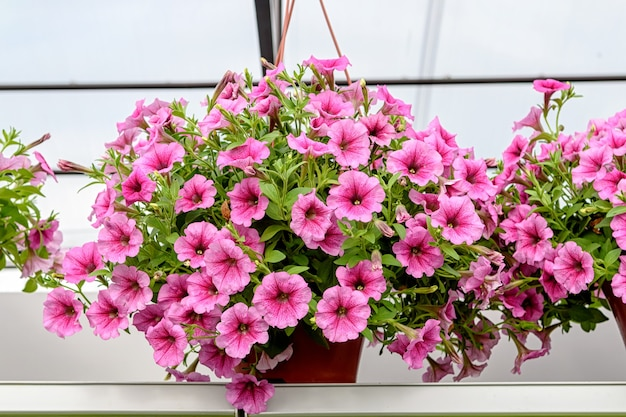 美しいピンクのampelnyペチュニアと植木鉢をぶら下げ