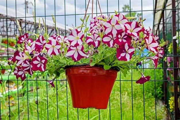 園芸用品センターにある美しい縞模様のアンペルペチュニアと植木鉢をぶら下げます。