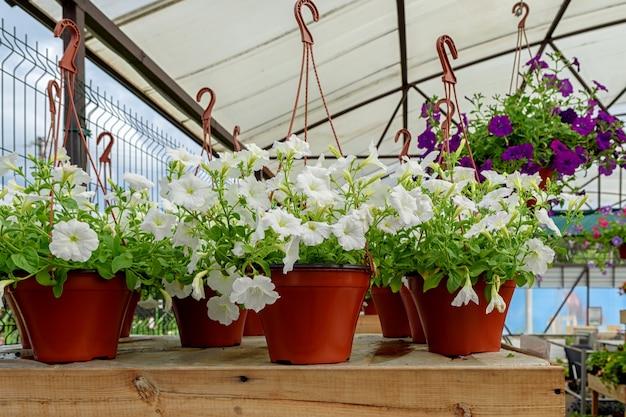 美しい白いペチュニアと植木鉢をぶら下げ
