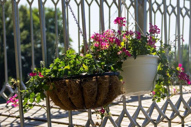 Hanging flowerpot with pink geranium flowers outdoor
