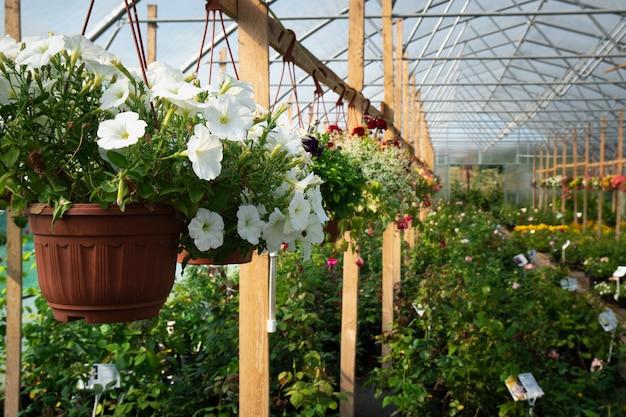 온실에 피튜니아 꽃으로 화분을 매달다