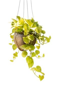 クリッピングパスを白で隔離される装飾用ココナッツポットに観葉植物をぶら下げ