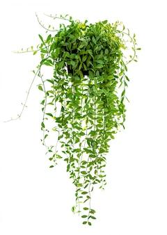 Hanging houseplant on white
