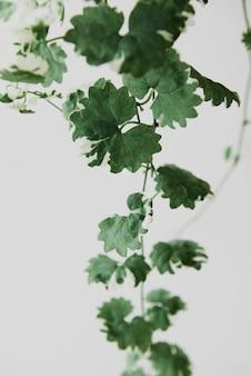 Висячие растения плюща на светло-сером фоне