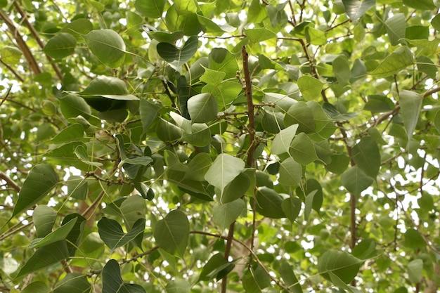 Hanging sacred fig leaves