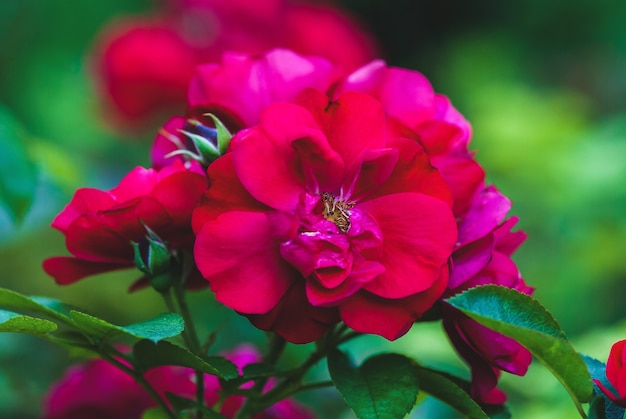 Hansaland rose-여름 정원의 진홍색 빨간 장미
