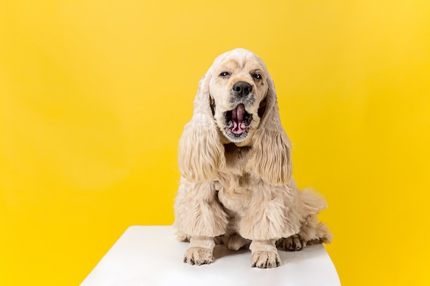 Happieness. american spaniel puppy. cute groomed fluffy doggy or pet is sitting isolated on yellow background. studio photoshot. negative space to insert your text or image.