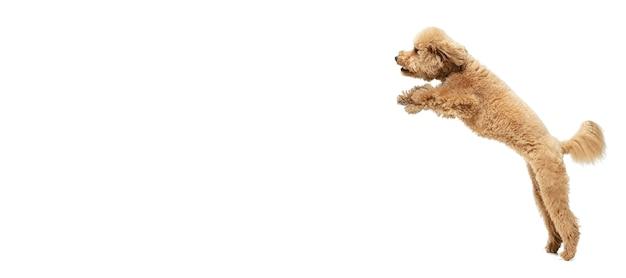 Felicità. cucciolo dolce sveglio del cane marrone di maltipoo o posa dell'animale domestico isolato sulla parete bianca. concetto di movimento, amore per gli animali domestici, vita animale. sembra felice, divertente. copyspace per l'annuncio. giocare, correre.