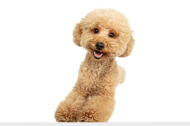 행복. maltipoo 갈색 개 또는 애완 동물 포즈 흰 벽에 고립의 귀여운 달콤한 강아지. 모션, 애완 동물 사랑, 동물 생활의 개념. 행복하고 재미있어 보인다. 광고 copyspace입니다. 놀기, 달리기.